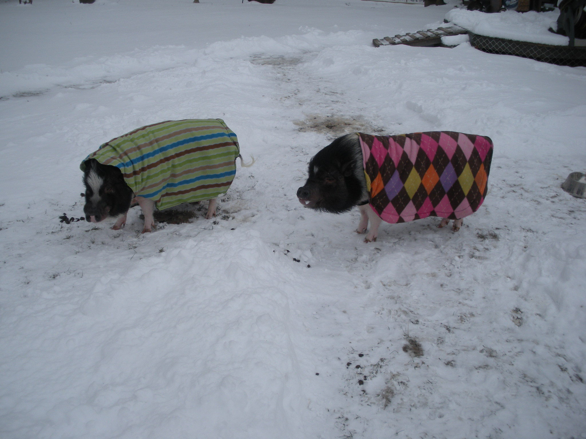 Rosco and Penny with coats