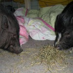 Snickers and Petunia enjoying some hay
