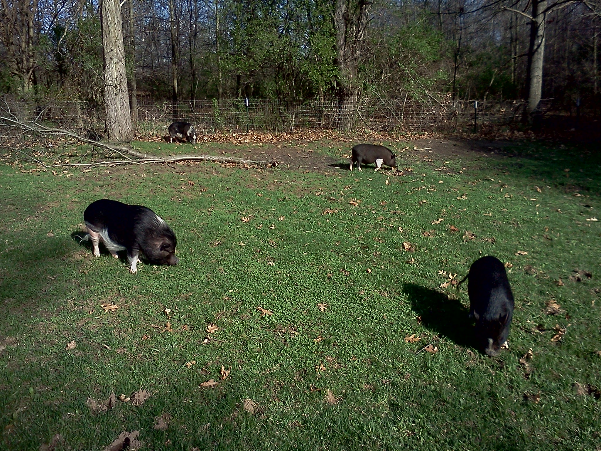 4 pigs grazing together