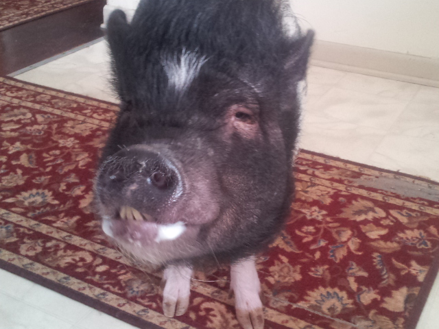 Penny showing us that a smiling pig is the best pig.