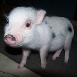 Our piglet boarder Gerty!