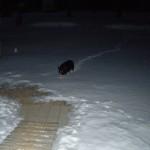 petunia in snow