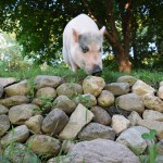 Fiona is trimming up the grass next to the rock wall.